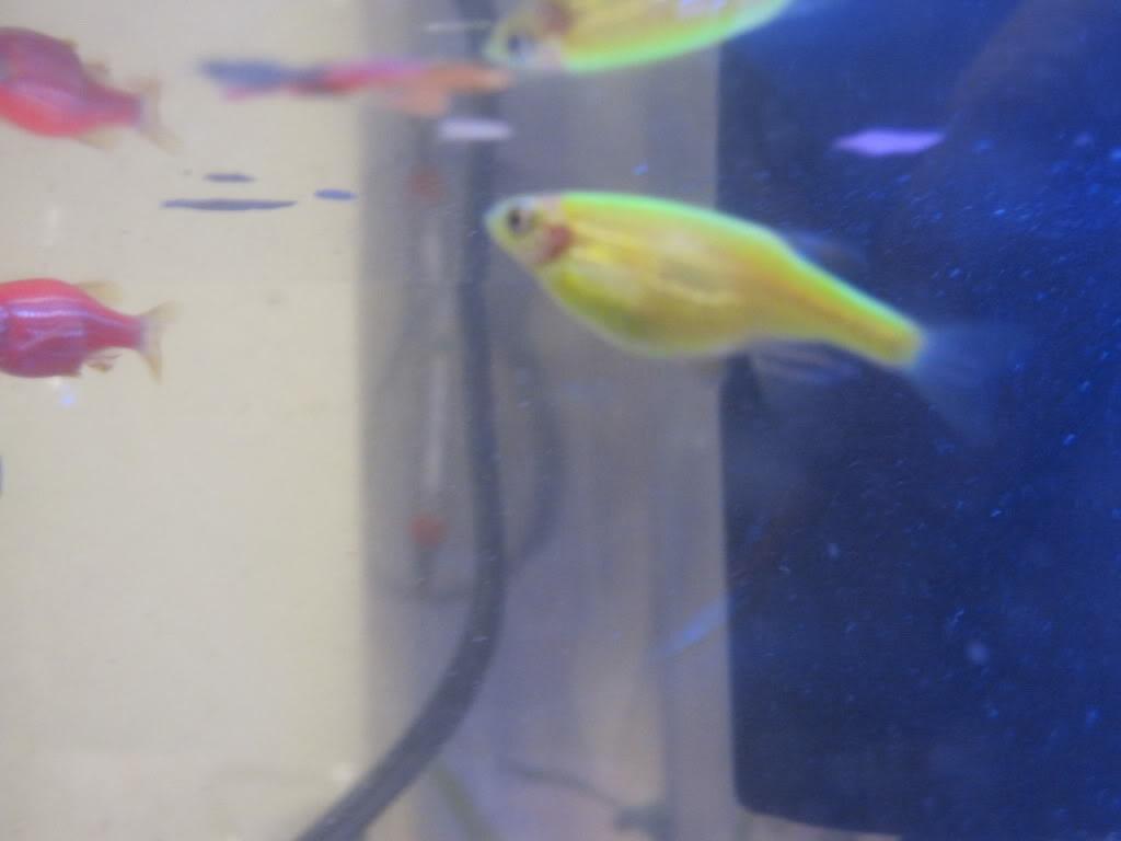 Беременная рыбка данио фото 61