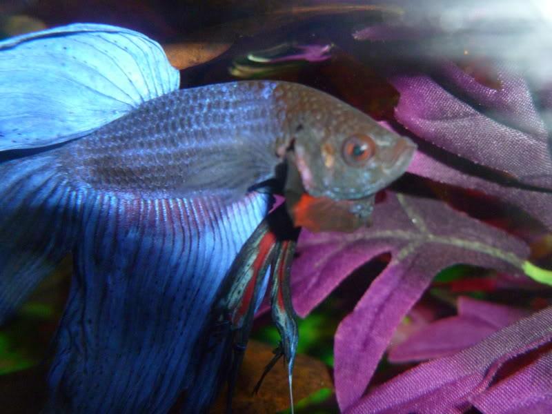 Popeye Disease In Fish |Fish With Popeye