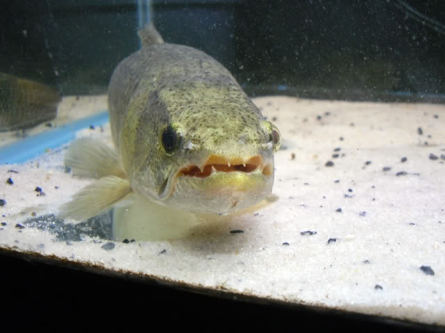 Any Monster Fish Keepers On This Site