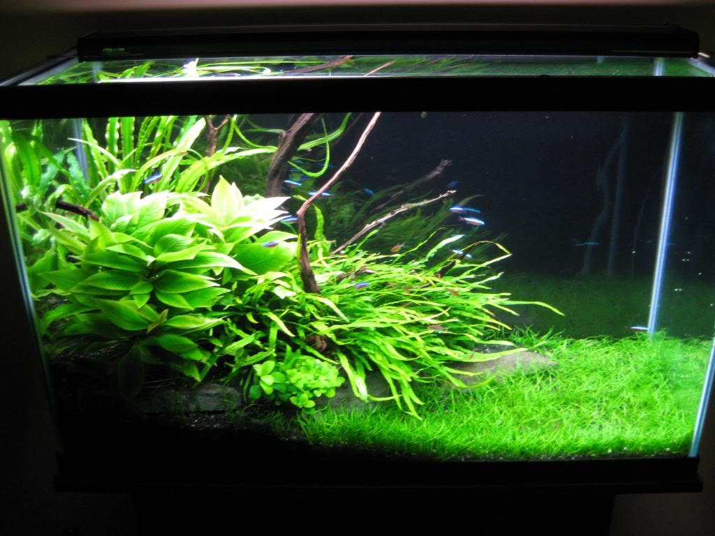 Carpet Plants For Low Tech Aquarium Carpet Vidalondon