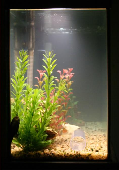 Bacterial bloom aquarium advice aquarium forum community for Bacterial bloom fish tank