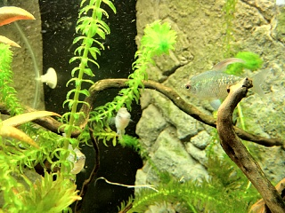 Sick platy aquarium advice aquarium forum community for Do betta fish sleep on the bottom of the tank