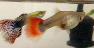 Click image for larger version  Name:guppy1.jpg Views:56 Size:151.3 KB ID:105150