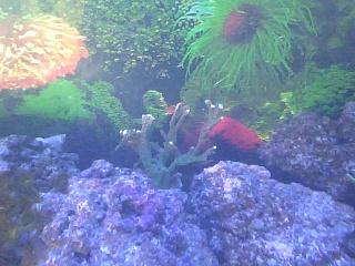 Click image for larger version  Name:elkhorn coral.jpg Views:83 Size:91.8 KB ID:113639