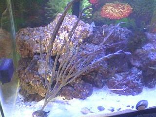 Click image for larger version  Name:purple gorgonia.jpg Views:81 Size:98.2 KB ID:113643