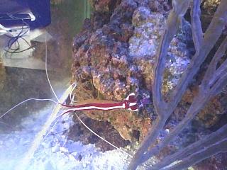 Click image for larger version  Name:cleaner shrimp.jpg Views:67 Size:98.4 KB ID:113648
