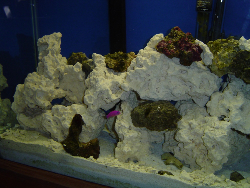 Click image for larger version  Name:purple dottyback.jpg Views:110 Size:248.0 KB ID:114723