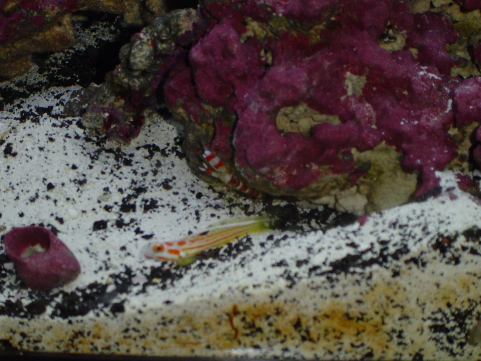Click image for larger version  Name:goby and shrimp.jpg Views:78 Size:250.3 KB ID:115125