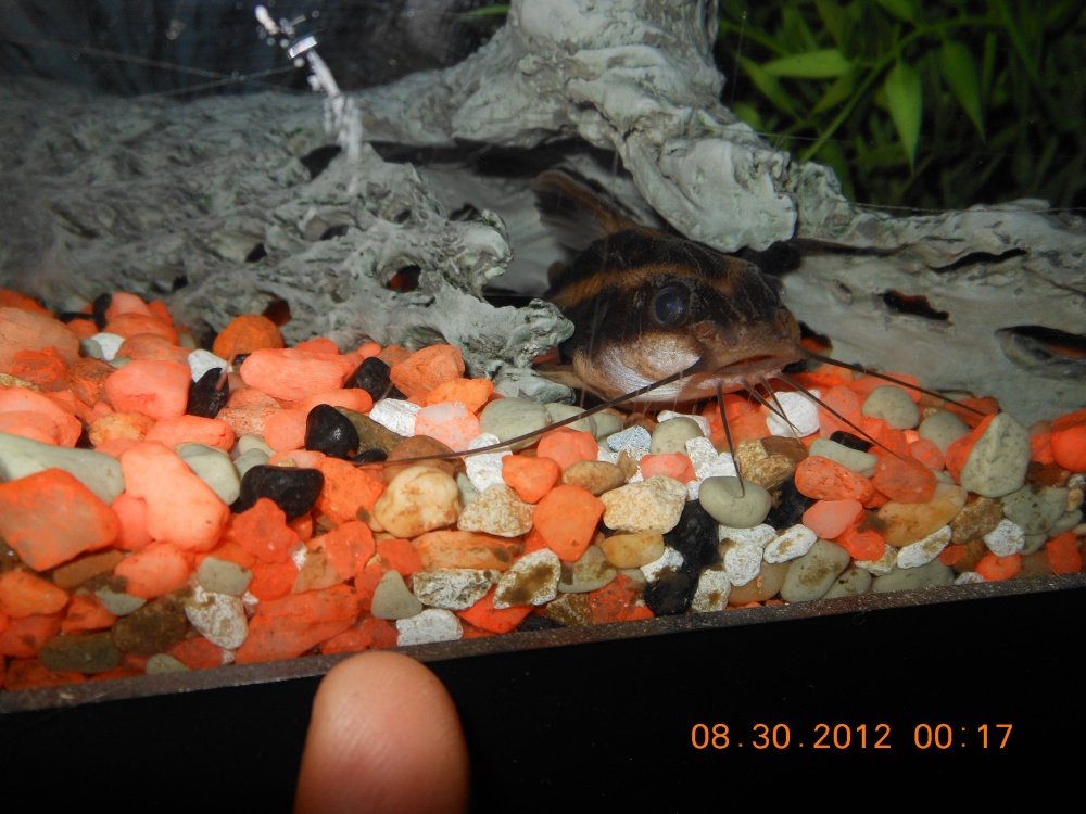 Click image for larger version  Name:Strippt Raffael Catfish (4).jpg Views:62 Size:243.2 KB ID:115759