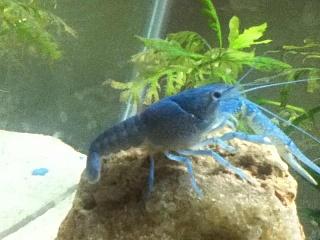 Crayfish aquarium advice aquarium forum community for Fish store lincoln ne