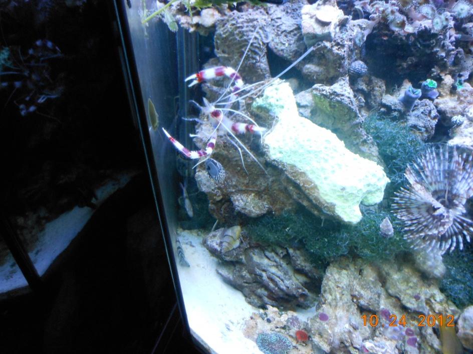 Click image for larger version  Name:coral banded shrimp 005.jpg Views:97 Size:255.8 KB ID:127422