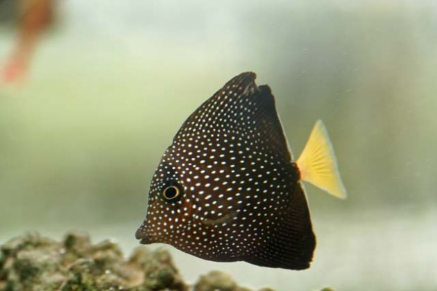 Click image for larger version  Name:speckled tang.jpg Views:68 Size:60.8 KB ID:13165