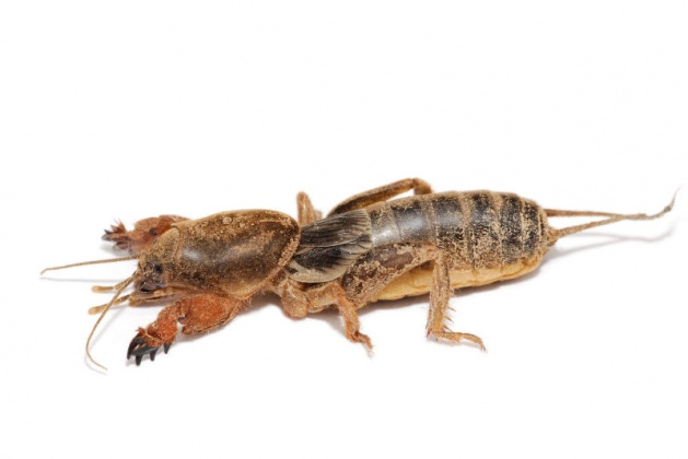 Click image for larger version  Name:Mole_cricket.jpg Views:49 Size:44.8 KB ID:13241