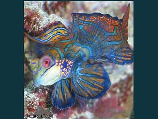 Click image for larger version  Name:mandarinfish.jpg Views:42 Size:77.5 KB ID:13390