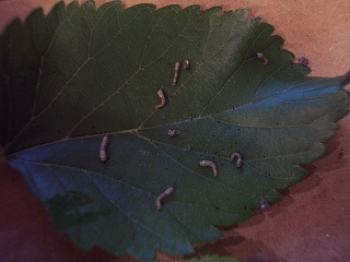Click image for larger version  Name:Silkworms day 4a.jpg Views:36 Size:58.0 KB ID:13500
