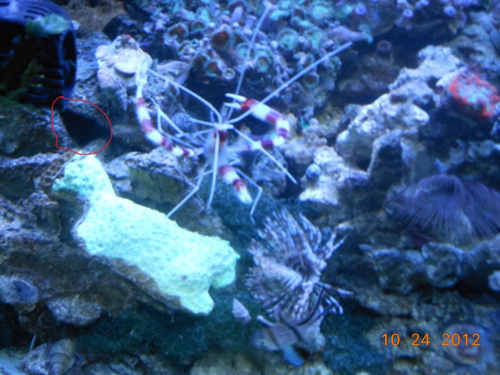 Click image for larger version  Name:coral banded shrimp 001 - Copy.jpg Views:73 Size:246.2 KB ID:135065