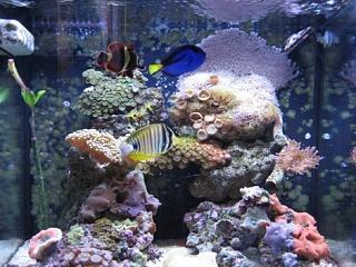 Click image for larger version  Name:nano with sailfin tang.jpg Views:39 Size:95.3 KB ID:13742