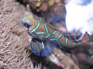 Click image for larger version  Name:mandarin goby june.jpg Views:66 Size:81.5 KB ID:13757