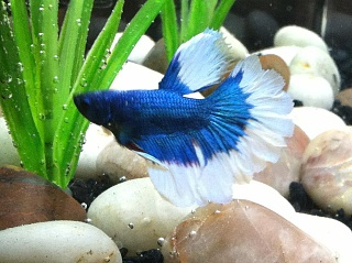 Click image for larger version  Name:BlueBetta.jpg Views:220 Size:91.0 KB ID:138073