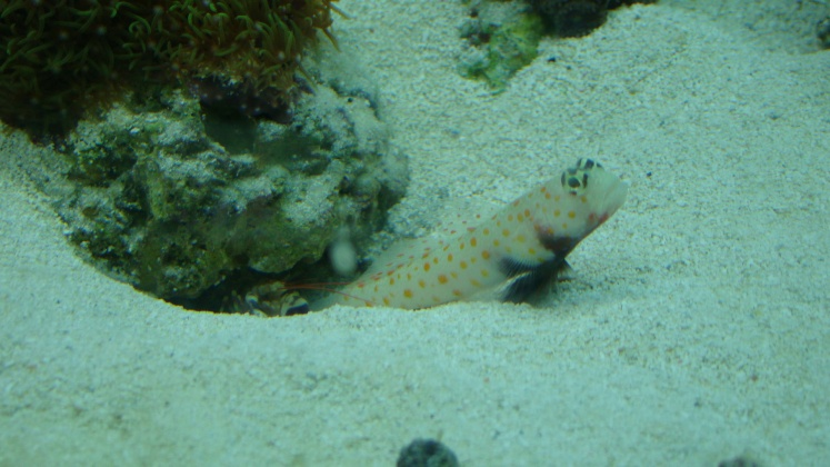 Click image for larger version  Name:goby 002.jpg Views:45 Size:119.6 KB ID:13907