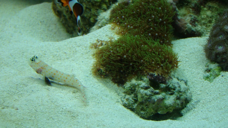 Click image for larger version  Name:goby 003.jpg Views:42 Size:135.5 KB ID:13908
