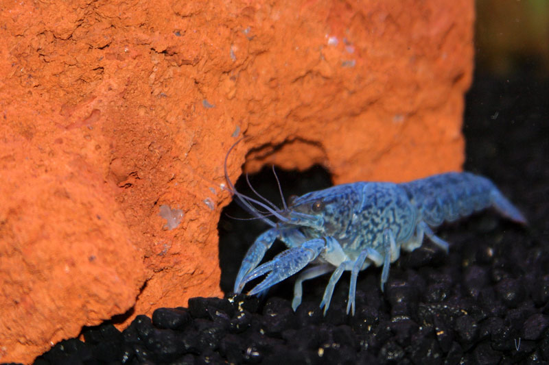 Click image for larger version  Name:lobster_1.jpg Views:108 Size:95.1 KB ID:1412