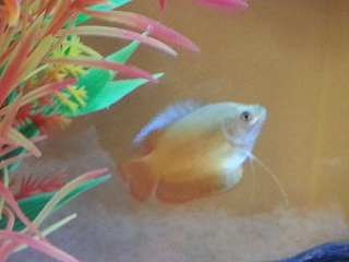 Click image for larger version  Name:Gourami 1.jpg Views:26 Size:152.4 KB ID:142094