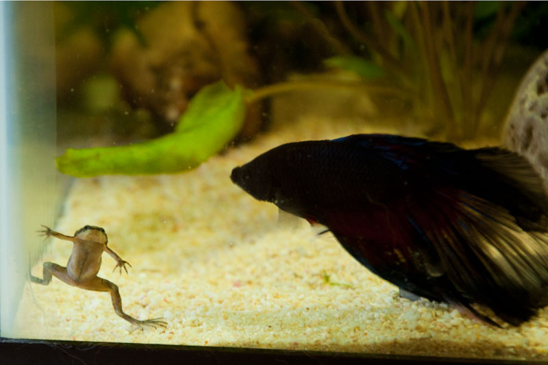 Click image for larger version  Name:frog-and-betta.jpg Views:61 Size:64.9 KB ID:143312