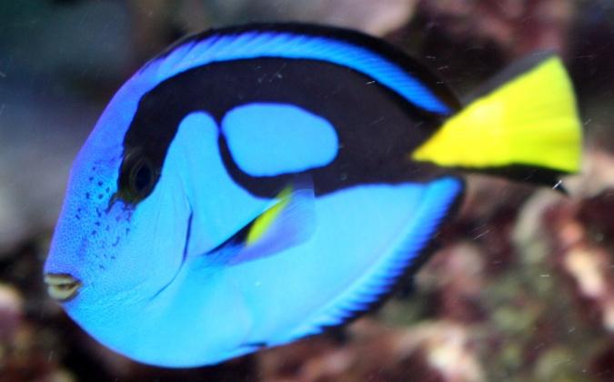 Click image for larger version  Name:blueHippoTang3.jpg Views:34 Size:78.0 KB ID:14333