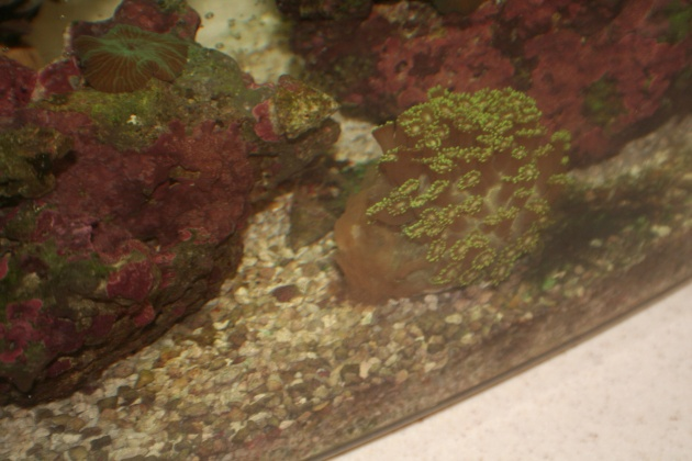 Click image for larger version  Name:2 What's wrong with flower pot coral 009.jpg Views:123 Size:91.6 KB ID:14435
