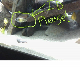 Click image for larger version  Name:ID_CICHLID1.jpg Views:146 Size:42.6 KB ID:145526