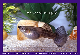 Click image for larger version  Name:moscow_purple_female_1a_aa.jpg Views:115 Size:92.6 KB ID:1459