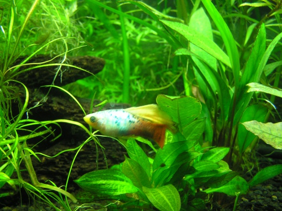 Click image for larger version  Name:male highfin platy.jpg Views:39 Size:122.4 KB ID:14719