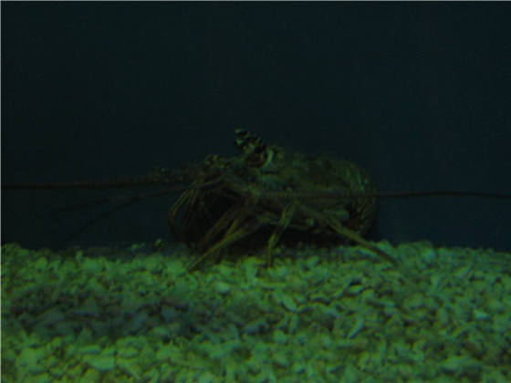 Click image for larger version  Name:lobster.jpg Views:28 Size:48.8 KB ID:14840