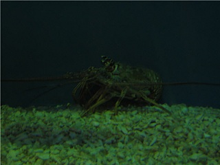 Click image for larger version  Name:lobster.jpg Views:32 Size:48.8 KB ID:14840