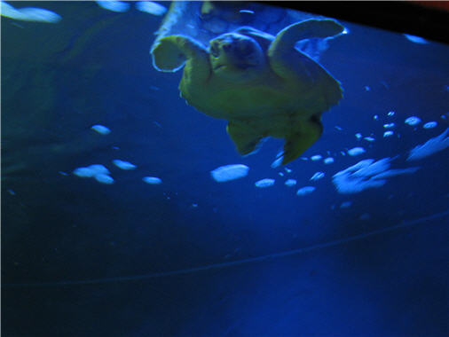 Click image for larger version  Name:seaturtle1.jpg Views:25 Size:22.8 KB ID:14845
