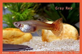 Click image for larger version  Name:gray_red_female_1a_aa.jpg Views:93 Size:91.2 KB ID:1503
