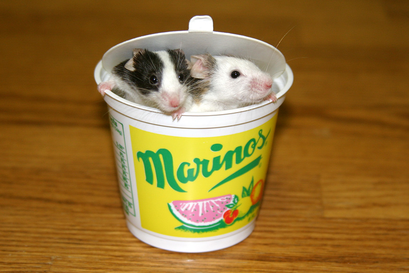 Click image for larger version  Name:italianmice.jpg Views:85 Size:153.2 KB ID:1539