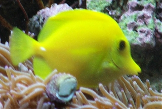 Click image for larger version  Name:clown-tang.jpg Views:135 Size:78.6 KB ID:155