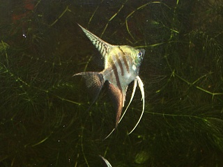 Click image for larger version  Name:Angelfish from Carol 007.jpg Views:85 Size:193.1 KB ID:155403