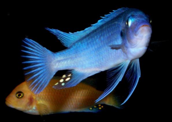 Click image for larger version  Name:cobalt blue 2.jpg Views:49 Size:57.4 KB ID:15632