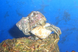 Click image for larger version  Name:I don't want my shell cleaned.jpg Views:61 Size:63.7 KB ID:15748