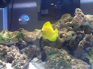 Click image for larger version  Name:yellow tang.jpg Views:156 Size:64.8 KB ID:15771