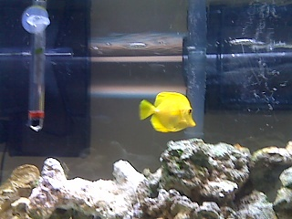 Click image for larger version  Name:yellow tang 2.jpg Views:128 Size:62.6 KB ID:15772