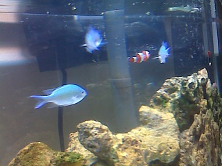 Click image for larger version  Name:chromis.jpg Views:150 Size:62.6 KB ID:15773