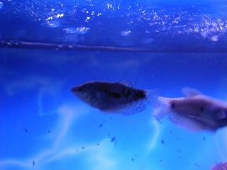 Click image for larger version  Name:new fish 001.jpg Views:83 Size:57.4 KB ID:15848