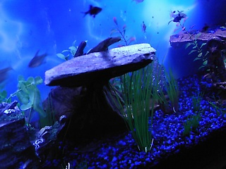 Click image for larger version  Name:new fish 015.jpg Views:77 Size:62.9 KB ID:15862