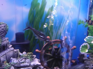 Click image for larger version  Name:new fish 026.jpg Views:85 Size:60.6 KB ID:15873