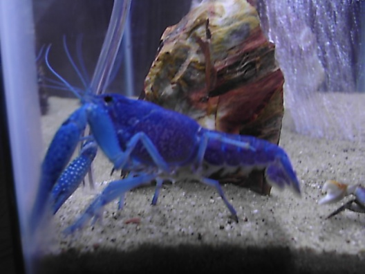 Click image for larger version  Name:blue lobster 002.jpg Views:343 Size:61.5 KB ID:15968