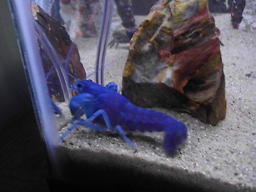 Click image for larger version  Name:blue lobster 003.jpg Views:80 Size:62.1 KB ID:15969